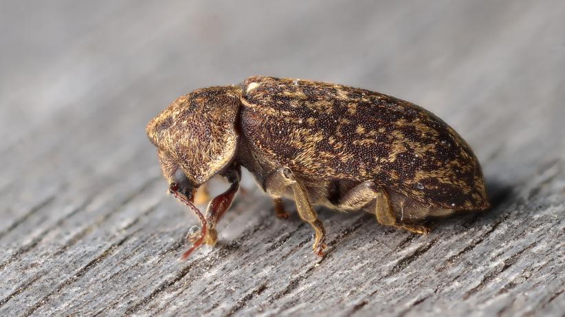 """Gescheckte Nagekäfer: """"Der Liebesschrei eines Käfers – gibt es was Romantischeres?"""""""