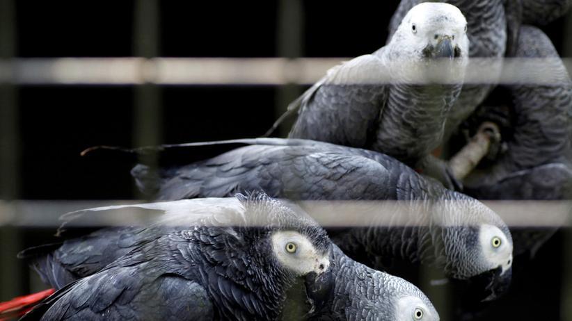 Artenschutz: Handel mit wilden Graupapageien verboten