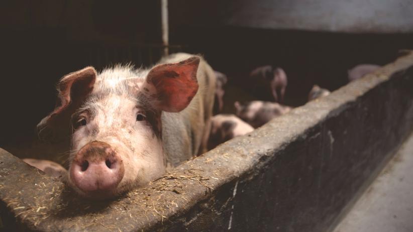Tierwohl: Wie geht's dir, du Schwein?