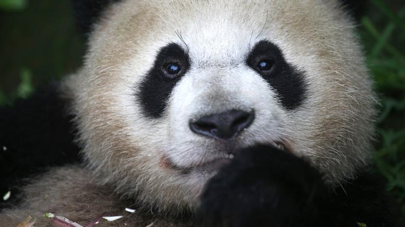 Tierschutz: Rettet Pandas, wer Pandas einsperrt?