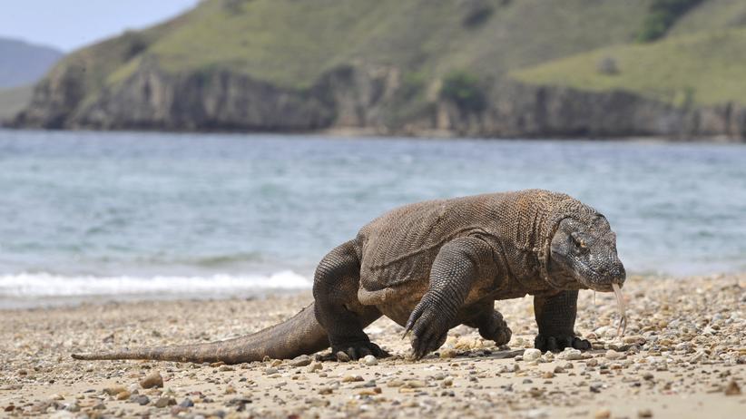 Unesco-Weltnaturerbe: Ein Komodowaran auf der indonesischen Insel Komodo