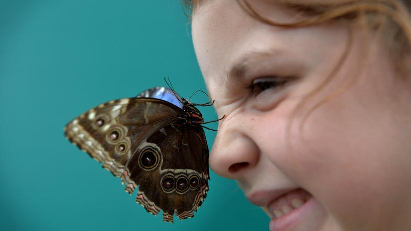 Studie: Ein Schmetterling auf der Nase eines Kindes, das im Museum Sensational Butterflies in London ist.