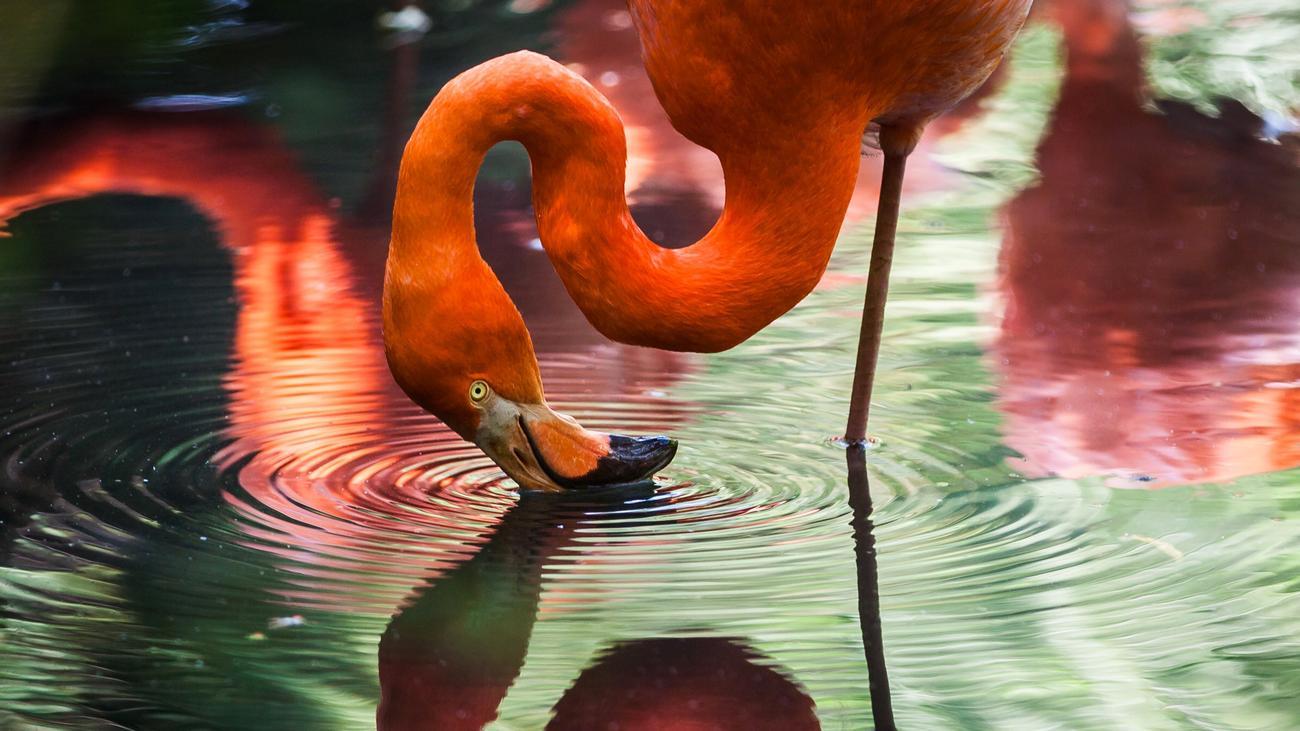 Flamingos: Fällt nicht um. Warum? | ZEIT ONLINE