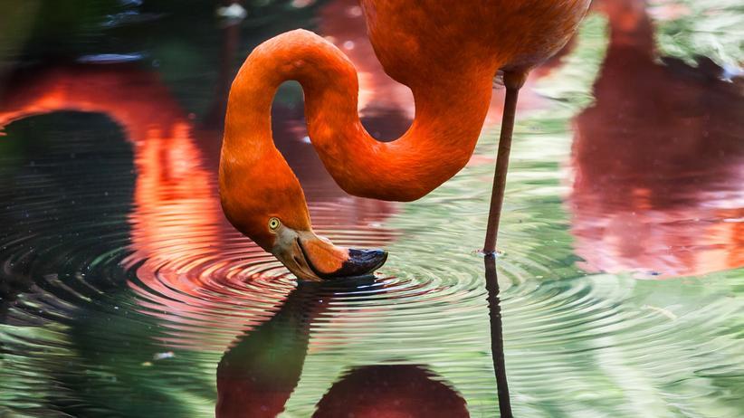 Flamingos: Fällt nicht um. Warum?
