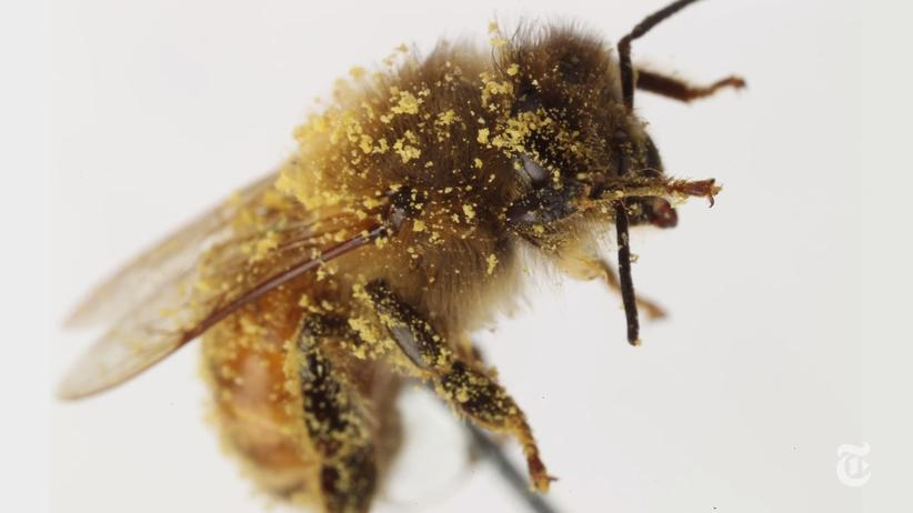 Insekten: Wie Bienen sich rausputzen