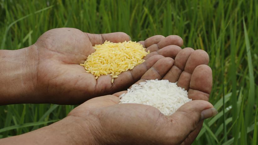 Gentechnik: Ein Wissenschaftler zeigt den goldenen (links) und normalen Reis (rechts) am Internationalen Reisforschungsinstitut in Los Baños, Philippinen.
