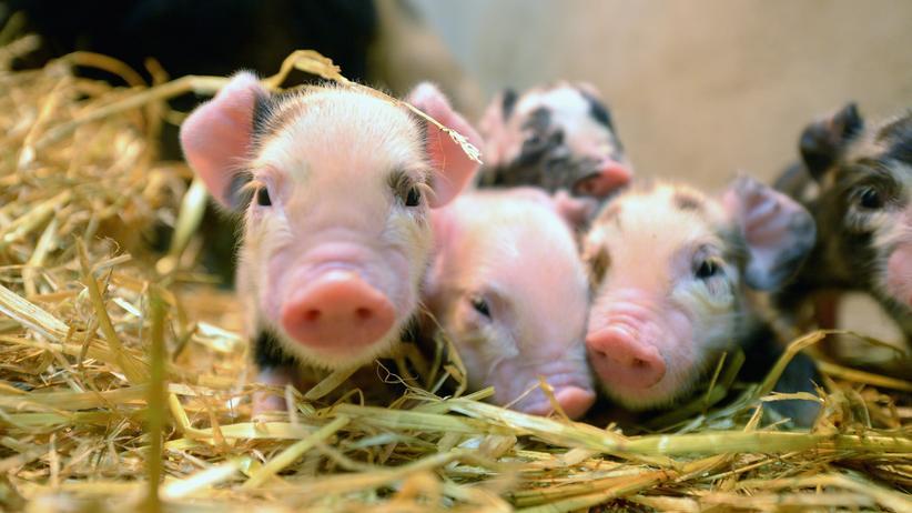 Crispr: Schwein ist mein ganzes Herz