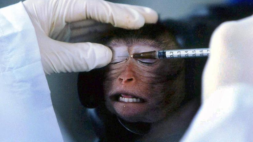 Tierversuche: Im chinesischen Guangzhou injizieren Forscher einem Affen ein Medikament. Gerade die Haltung von Affen für medizinische Tierversuche wird von Tierschützern immer wieder kritisiert.