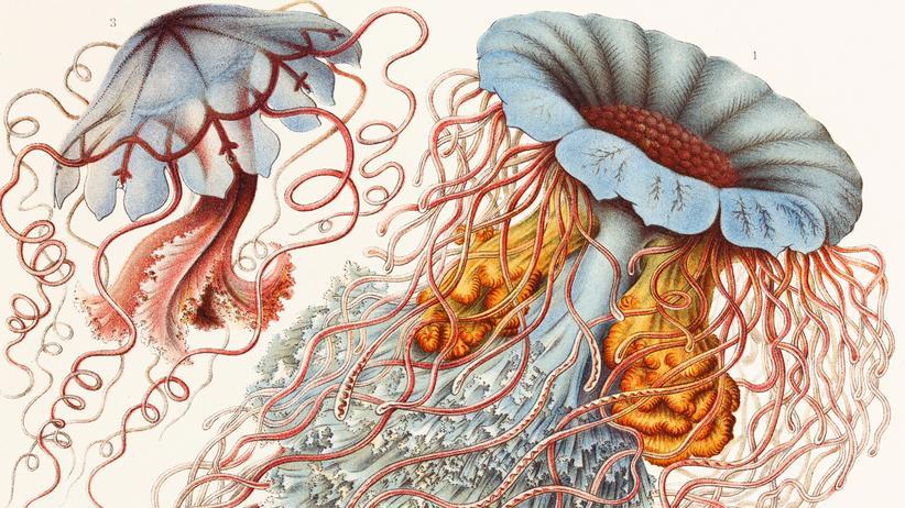 Ernst Haeckel: Meine Muse ist eine Meduse