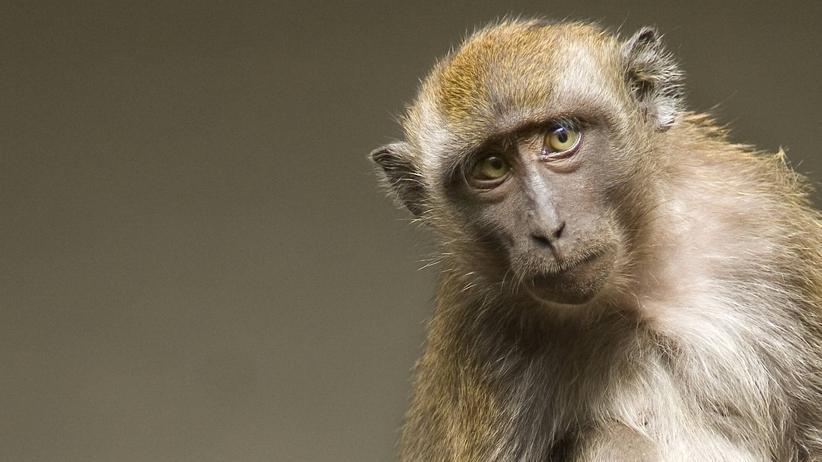 Abgasversuche: Die von Autokonzernen gegründete Lobbyorganisation EUGT testete Abgase an Affen und Menschen. Die Autobauer sollen davon gewusst haben.