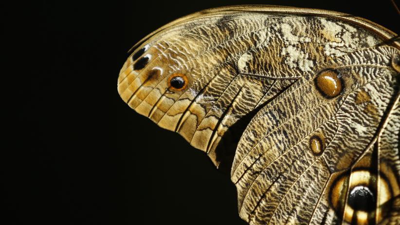 Fossilien: Nach Ansicht der Forscher ist es wahrscheinlich, dass die gefundenen Schuppen denjenigen ähnelten, die Schmetterlinge heute haben. Die im Bild gezeigten Flügel stammen von einem Bananenfalter.