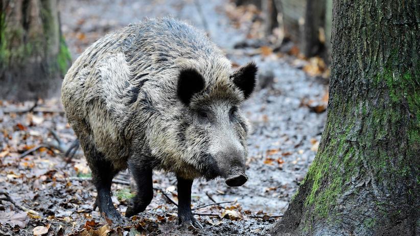 Afrikanische Schweinepest: Ein Wildschein in einem Wald im Nordwesten Berlins