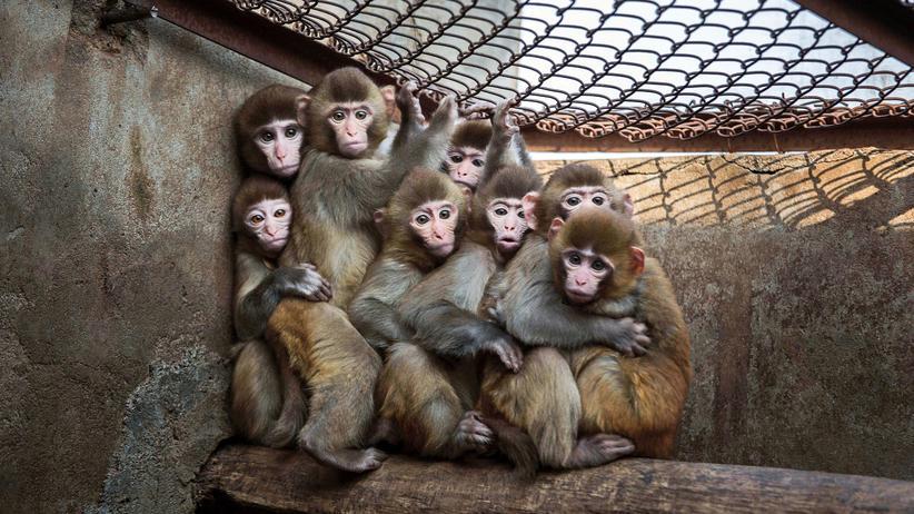 """Abgasversuche: """"Wir brauchen Affenversuche, aber nicht solche"""""""
