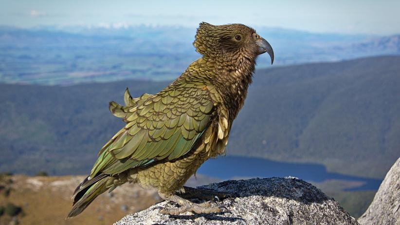 Neuseeland: Sport soll randalierende Papageien ablenken