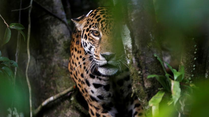 Jaguare im Regenwald: Auf der Suche nach dem Jaguar