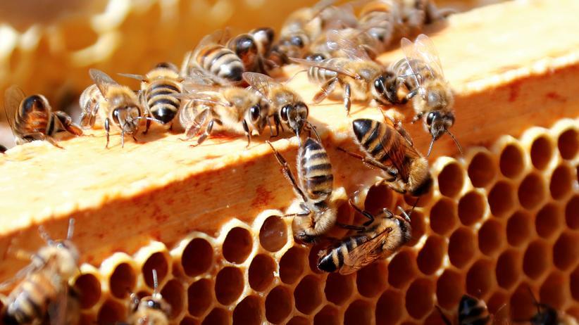 Honigbienen: Sterben die Bienen aus? Führenden Bienenforschern zufolge keineswegs.