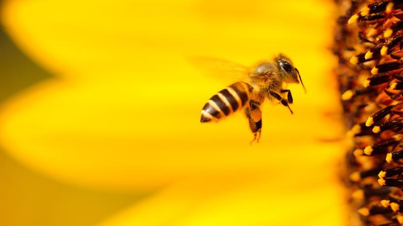 Bienensterben: Auf Bienen wirken Insektizide wie ein Nervengift.