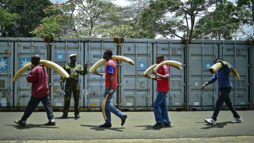 Studie: TOPSHOT - Confiscated ivory is moved to secure containers from an ivory stock room at the Kenya Wildlife Services (KWS) headquarters in Nairobi on April 4, 2016. Kenya on April 30, 2016 will burn approximately 105 tonnes of confiscated ivory, almost all of the country's total stockpile. Several African heads of state, conservation experts, high-profile philanthropists and celebrities are slated to be present at the event which they hope will send a strong anti-poaching message.  / AFP / CARL DE SOUZA        (Photo credit should read CARL DE SOUZA/AFP/Getty Images)