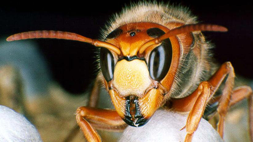 """Hornissen: """"Friedlichere Wespen gibt es nicht"""""""