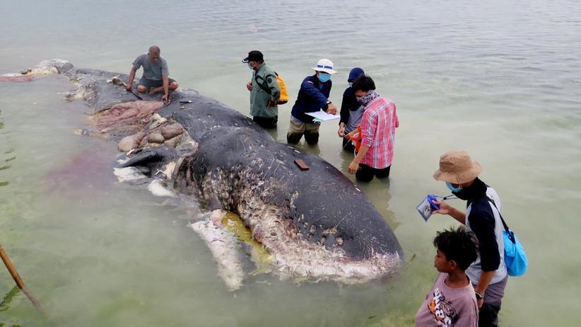 Indonesien: Ein Wal vor der Küste der indonesischen Insel Sulawesi hatte 5,9 Kilo Plastik im Magen.