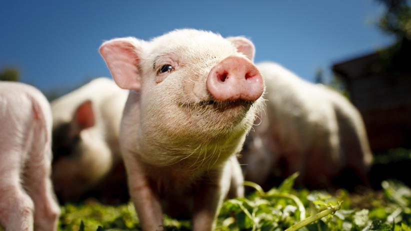 Afrikanische Schweinepest: Die Spur des Wurstbrots