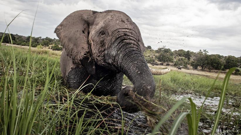 Artenschutz: Botswana erlaubt Elefantenjagd