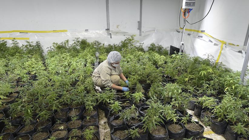 Cannabis: Eine angestellte Person arbeitet in einem Gewächshaus mit Marihuanapflanzen in Uruguay.