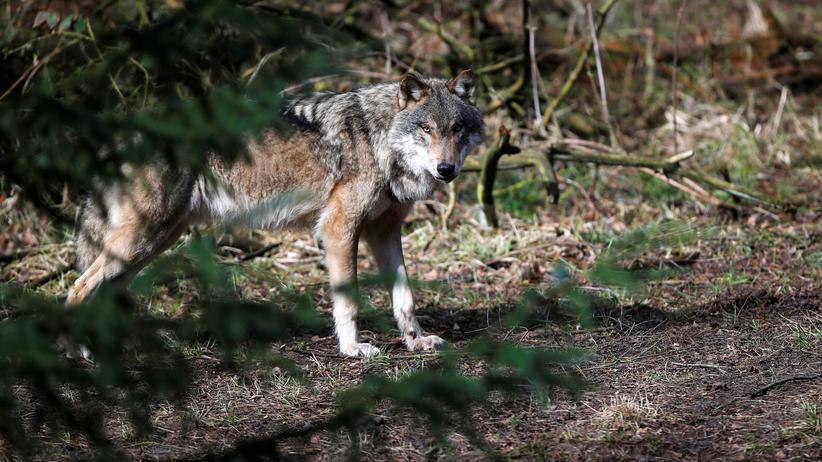 Mecklenburg-Vorpommern: Ein Wolf in der Schorfheide