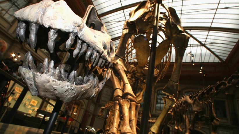 Dinosaurier: Marsh fand den Trumpf im Überbietungswettbewerb: Das riesige Skelett eines Brontosaurus. Inzwischen ordnen Experten dem Rumpf eher einem Brachiosaurus zu – wie dieser im Museum für Naturkunde in Berlin.
