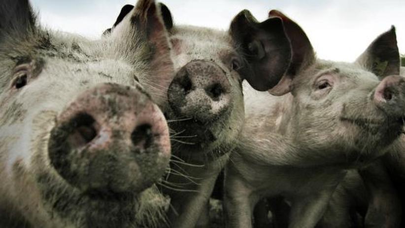 Schweine Staatsanwaltschaft Innsbruck Tierschutz