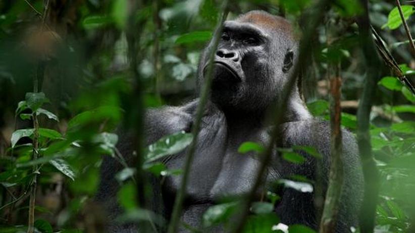 Tropenkrankheit: Ursprung von Malaria in Gorillas entdeckt