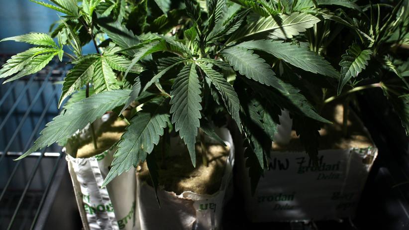THC : Cannabis, illegale Droge und wirksame Arznei