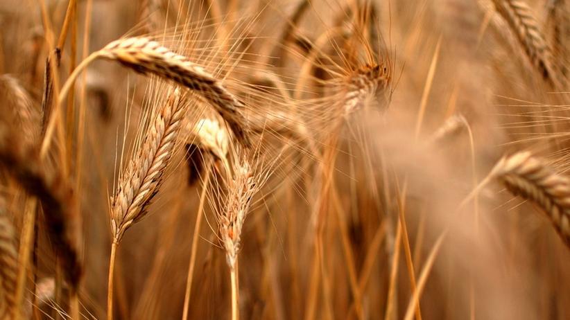 Ernährung: Was Getreide kann und was der Mensch daraus macht