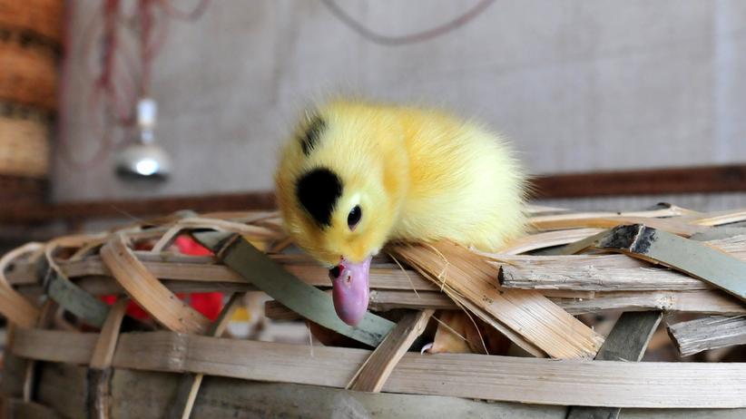 H10N8-Todesfall in China: Vogelgrippe, mal wieder