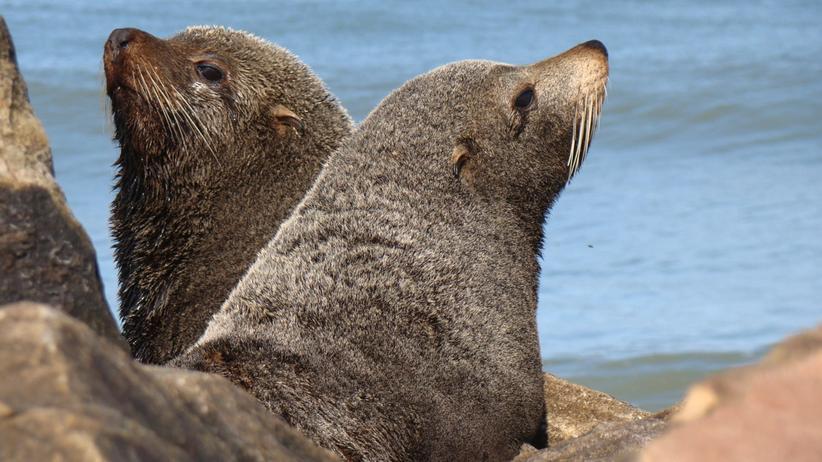 Tuberkulose: Seelöwen brachten die Schwindsucht nach Amerika