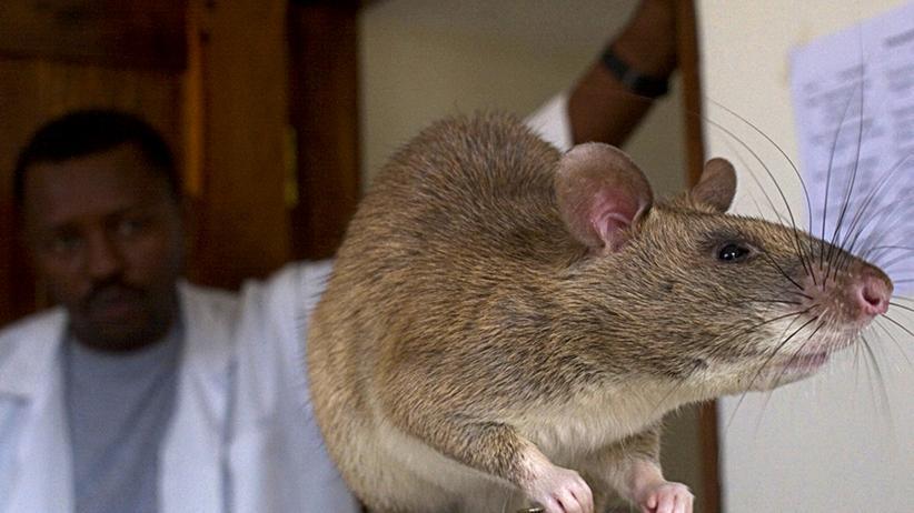 Tuberkulose: Ratten retten Leben