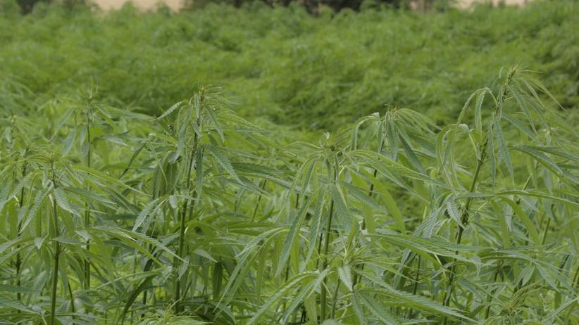 Cannabis-Anbau: Cannabispflanzen
