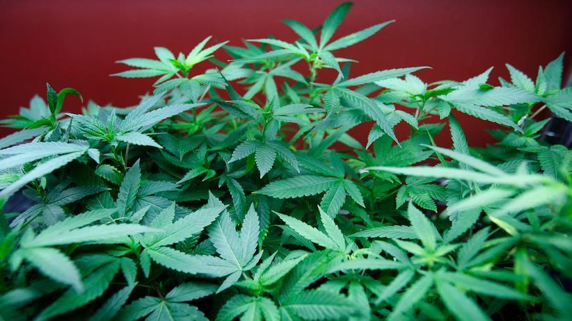 Medizinisches Cannabis: Cannabispflanzen in einem medizinischen Zentrum in Los Angeles