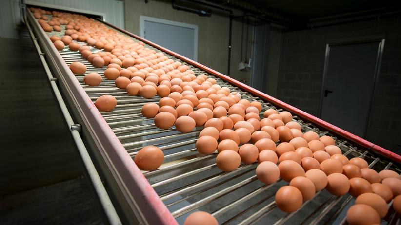 Fipronil-Belastung: Niederlande sollen früh von belasteten Eiern gewusst haben