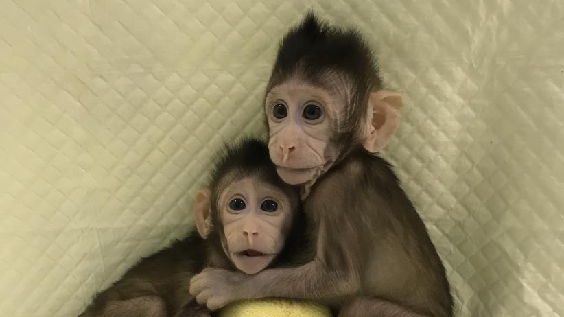 Gentechnik: Affen geklont! Eine Sensation?