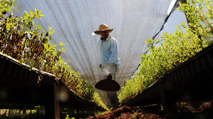 Anbau von Stevia in Paraguay