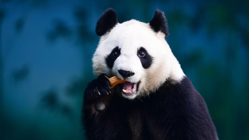 Ballaststoffe: Ein Panda knabbert. Kaum ein Tier dürfte so viele Ballaststoffe essen, wie der Panda.