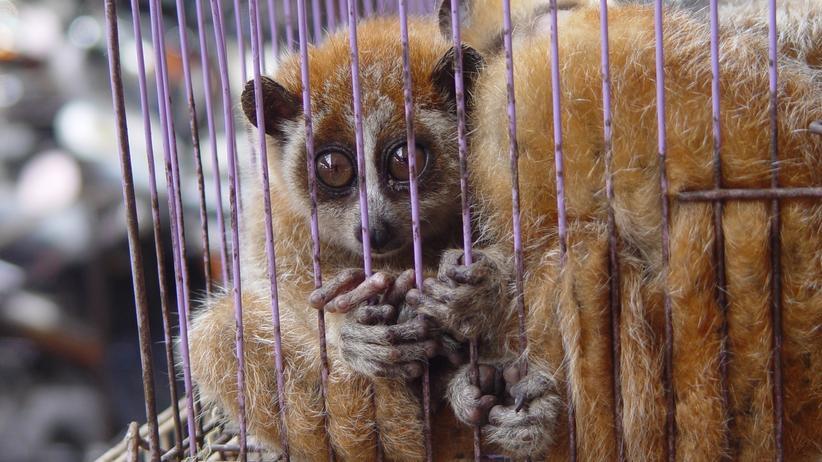 Coronavirus: Ein Zwerglori (Nycticebus pygmaeus) auf einem Markt in Asien. Der Handel mit diesen Tieren ist nach dem Washintonter Artenschutzabkommen verboten. Und: Sie gelten als gefährdet auf der Roten Liste bedrohter Tiere.