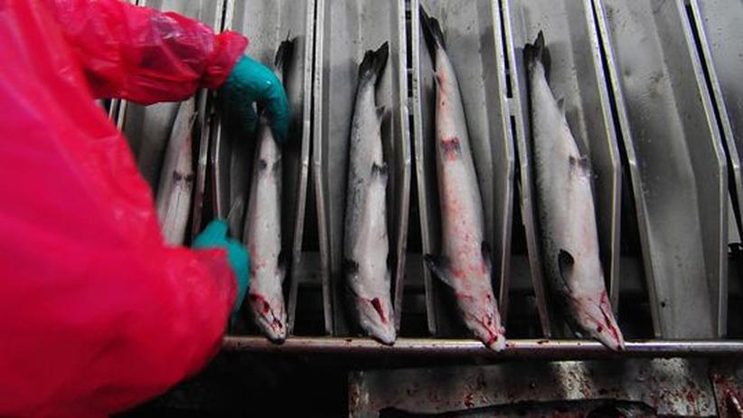 Lachse werden auf einer industriellen Fischfarm verarbeitet.