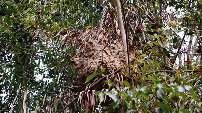 tiere und pflanzen ein nest im baum zeugt von der kunst der termiten zeit online. Black Bedroom Furniture Sets. Home Design Ideas