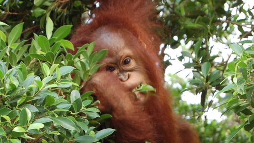 Orang-Utans auf Borneo: Die letzten Waldmenschen verlieren ihre Heimat