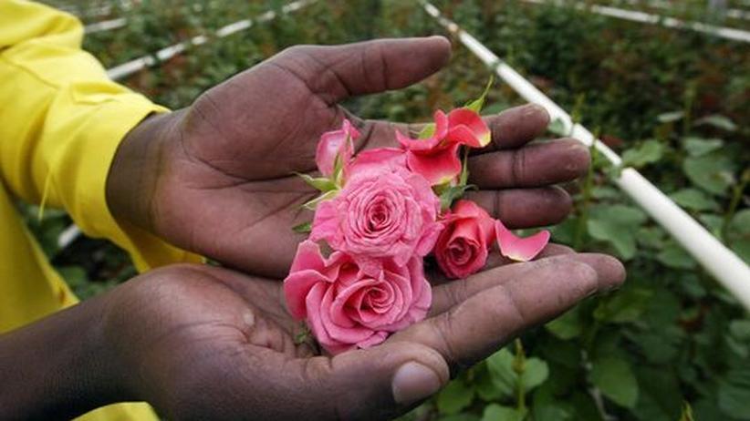 Blumen zum Valentinstag: Die lange Reise der Rosen
