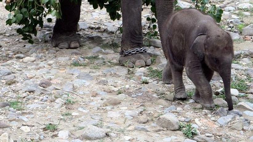 Siatischer Elefant Artenschutz Laos