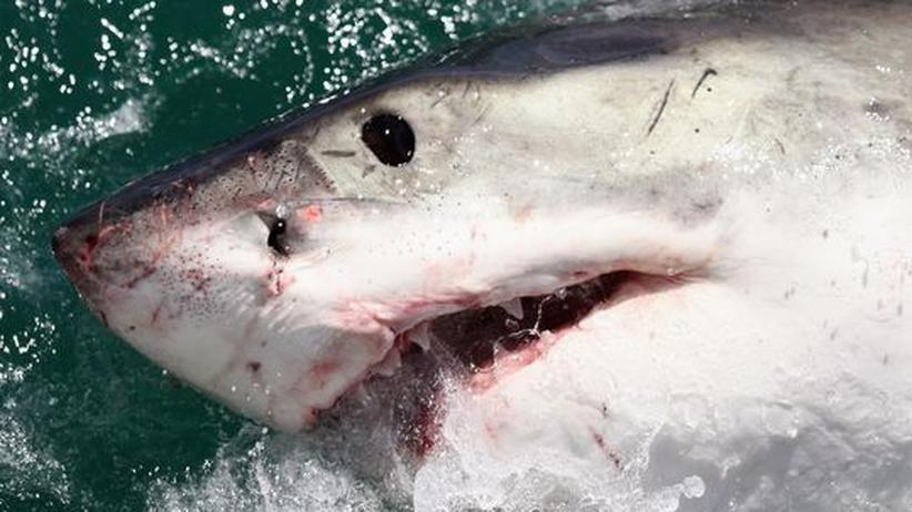 Artenschutzkonferenz in Doha: Geht die Jagd auf Haie uneingeschränkt weiter?