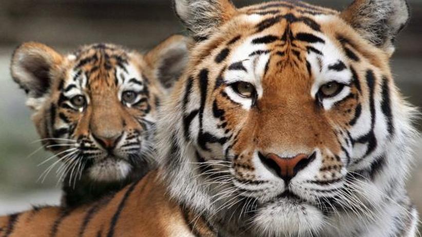Naturschutz: Nur noch 500 Sibirische Tiger leben im Einzugsgebiet des Amur nördlich von Wladiwostok – Forscher fürchten, dass das Tier bald ausstirbt